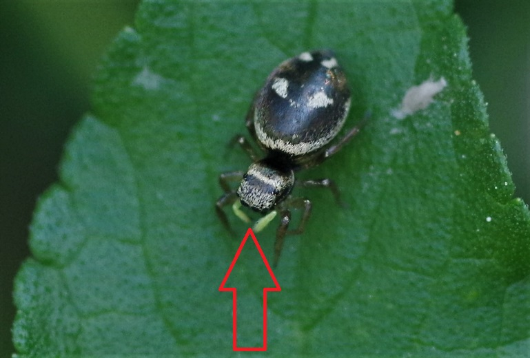 SALTICIDAE Heliophanus apiatus 6 (2).JPG