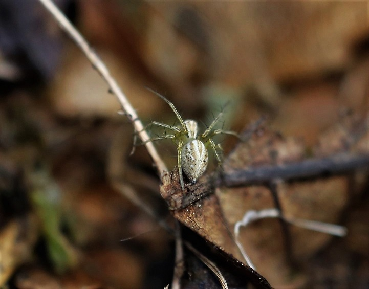 OXYOPIDAE Oxyopes lineatus.JPG