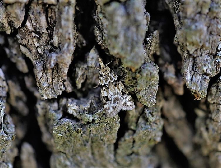 CRAMBIDAE Eudonia delunella (eudorée des lichens).JPG