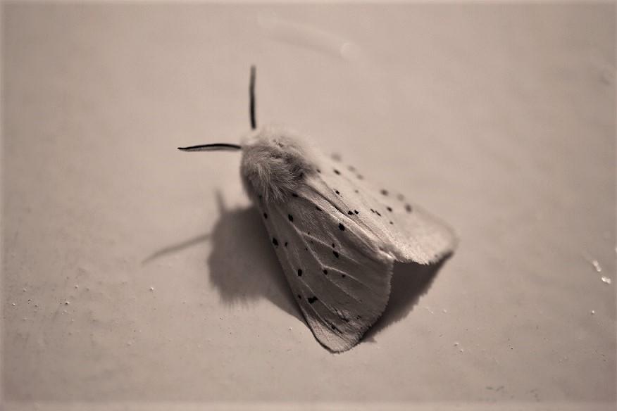 EREBIDAE Spilosoma lubricipeda (écaille tigrée).JPG