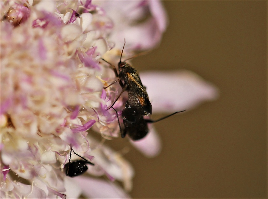 MIRIDAE Adelphocoris seticornis 2.JPG