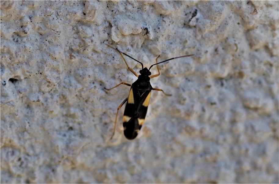 MIRIDAE Dryophilocoris flavoquadrimaculatus.JPG