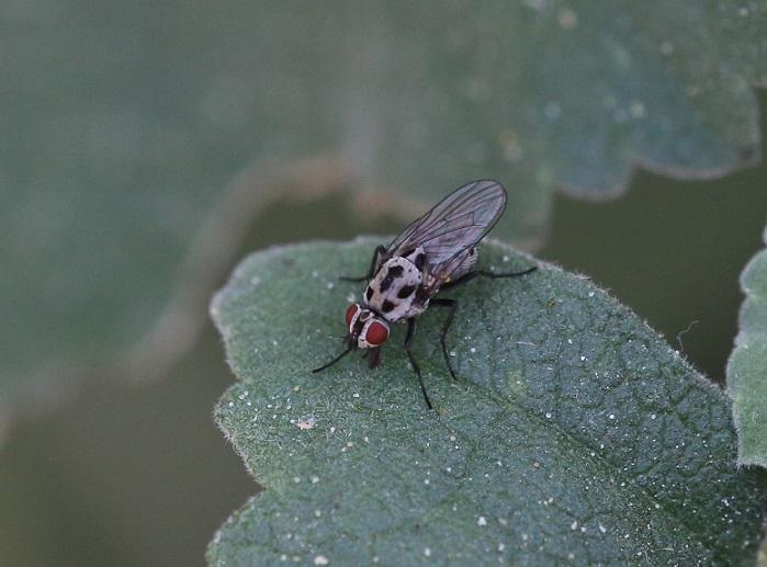 ANTHOMYIIDAE Anthomyia pluvialis 7.JPG