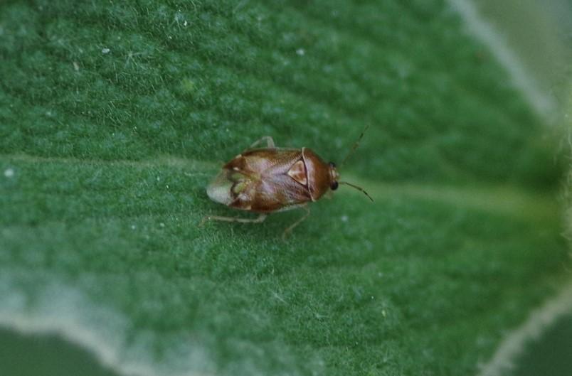 MIRIDAE Deraeocoris lutescens.JPG