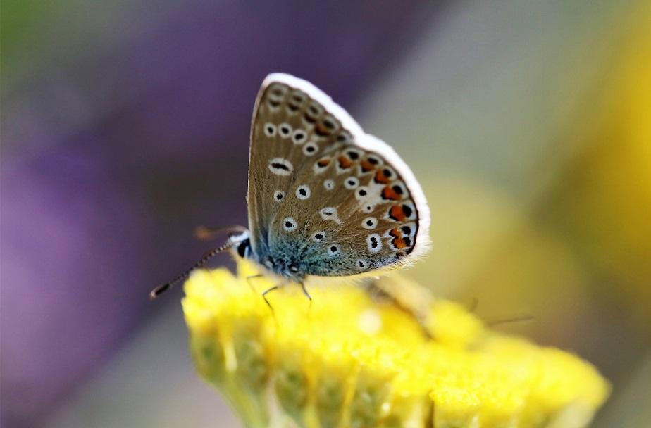 LYCAENIDAE Polyommatus icarus 6.JPG