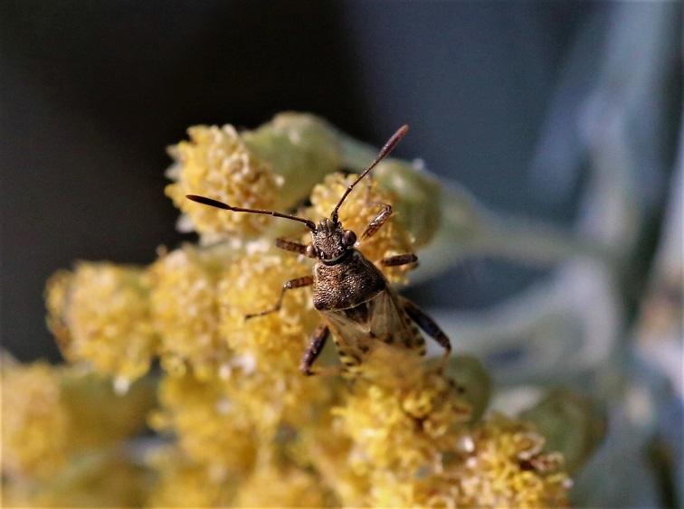 RHOPALIDAE Strictopleurus sp. 1.JPG