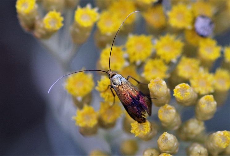 ADELIDAE Nemophora fasciella 3 (2).JPG