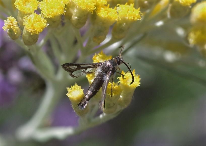 SESIIDAE Pyropteron affinis 1.JPG