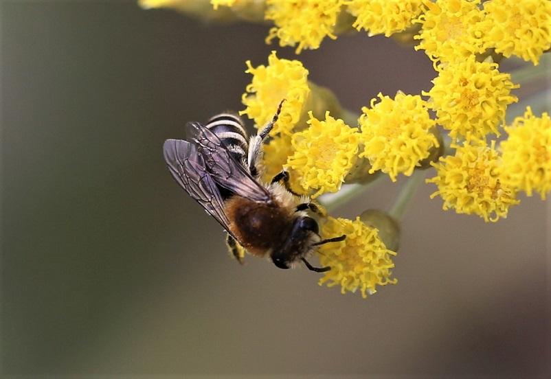 ANDRENIDAE Andrena gravida 2.JPG