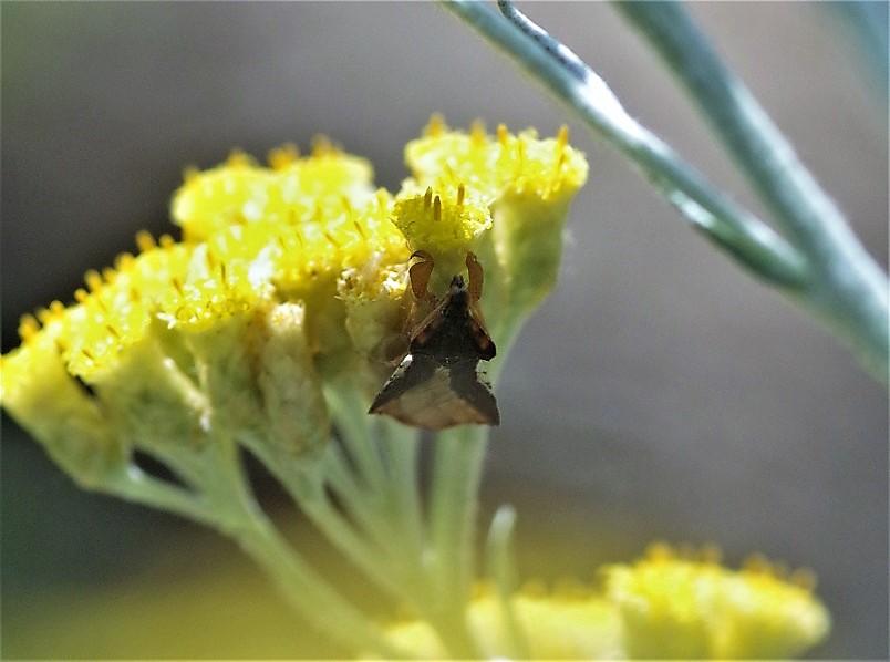 REDUVIIDAE Phymata crassipes.JPG