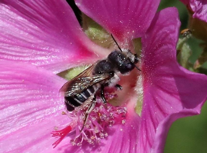 MEGACHILIDAE Megachile ericetorum 5.JPG