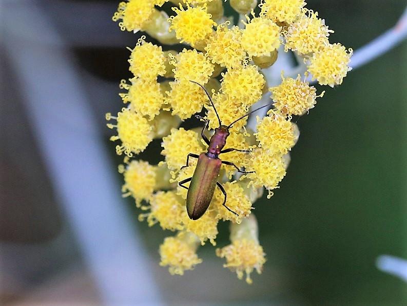 OEDEMERIDAE Chrysanthia viridissima.JPG