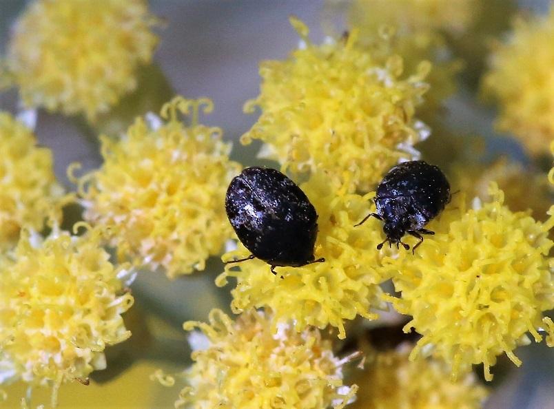 DERMESTIDAE Anthrenus fuscus.JPG