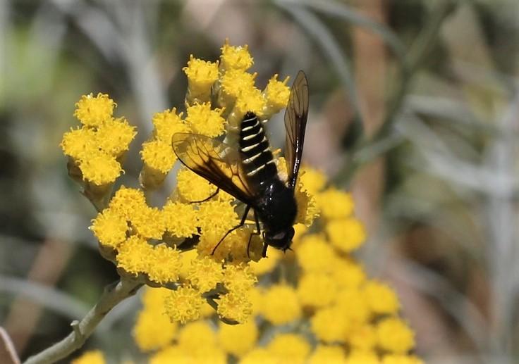 BOMBYLIIDAE Lomatia sp. 1.JPG