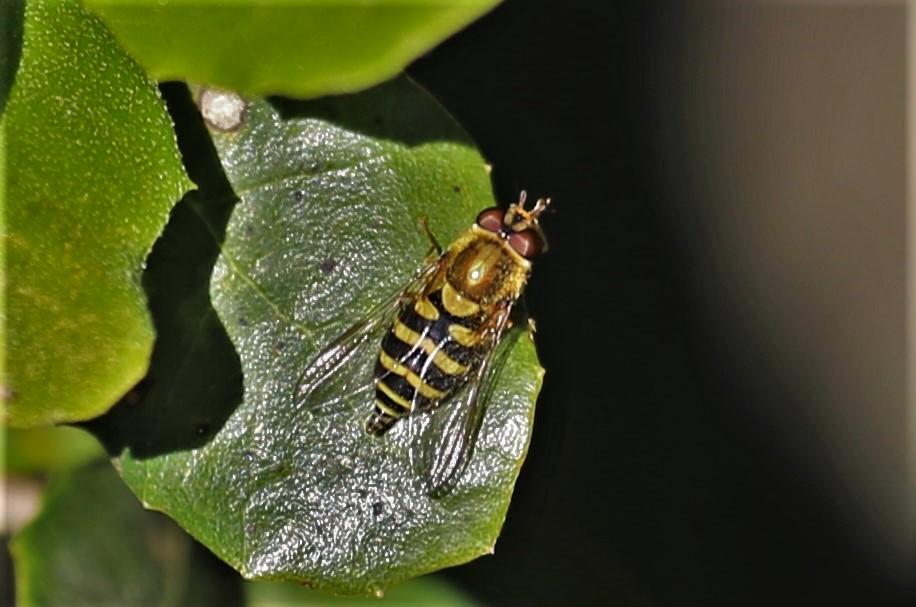 SYRPHIDAE Syrphus sp..JPG