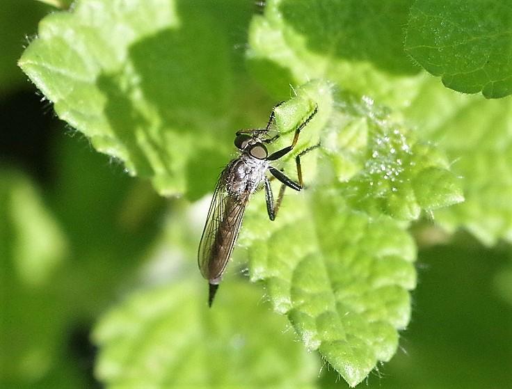 ASILIDAE Neomochtherus geniculatus 2.JPG