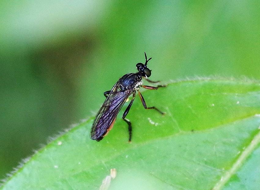 ASILIDAE Dioctria hyalipennis 3.JPG