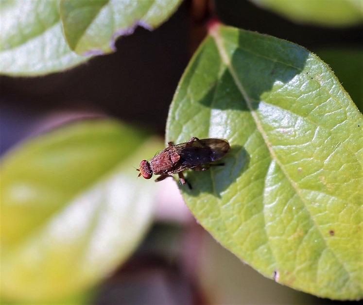 HELEOMYZIDAE Suillia variegata 1.JPG