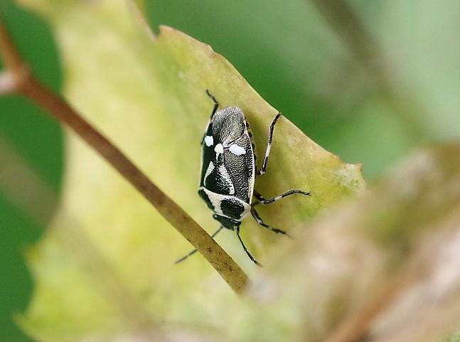 PENTATOMIDAE Eurydema oleracea 2.JPG
