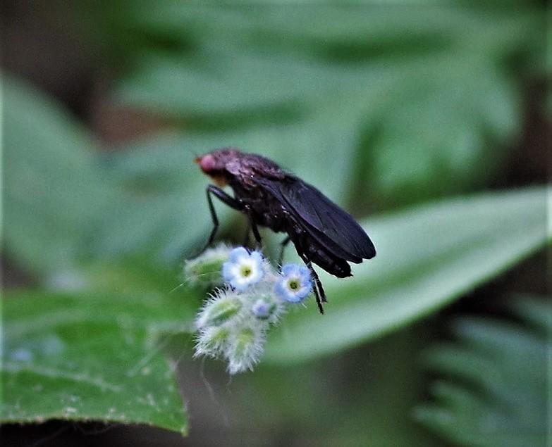 PHAEOMYIIDAE Pelidnoptera nigripennis.JPG