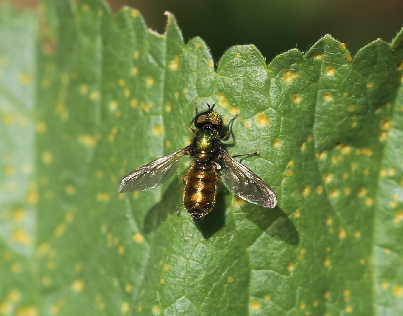 STRATIOMYIDAE Chloromyia sp. 2.JPG
