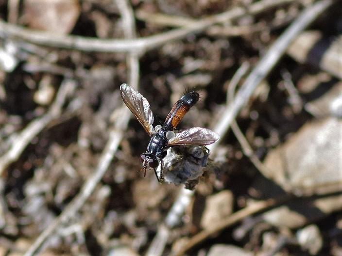 TACHINIDAE Cylindromyia intermedia 3.JPG