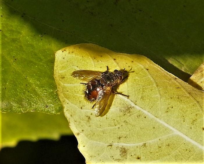 TACHINIDAE Peleteria rubescens.JPG