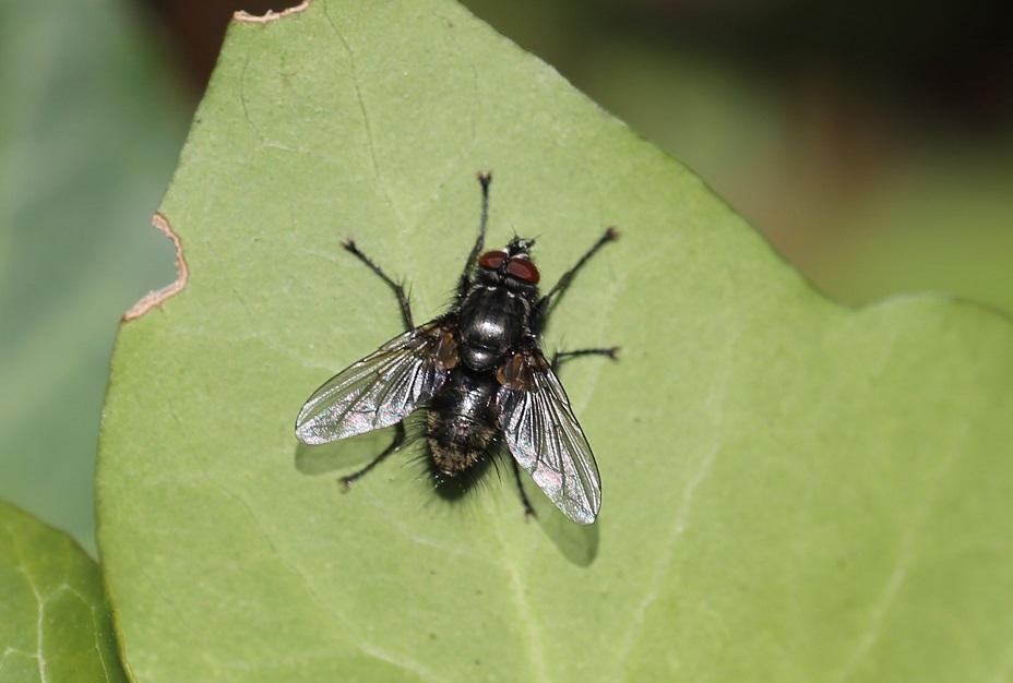 TACHINIDAE Macquartia sp..JPG