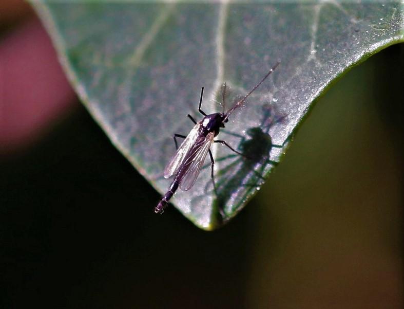 CHIRONOMIDAE Chironomus sp..JPG