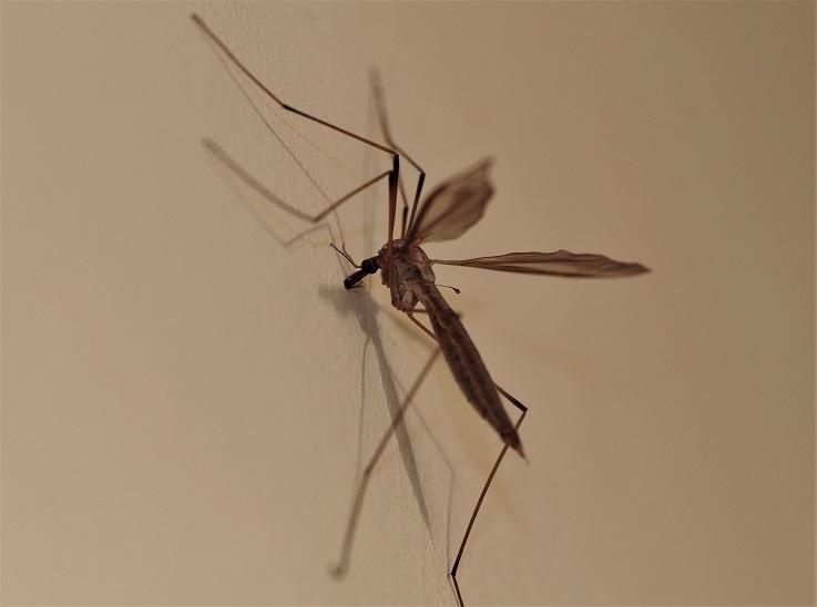 TIPULIDAE Tipula oleracea.JPG