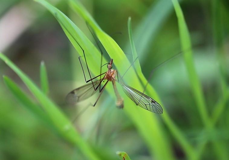 TIPULIDAE Tipula fascipennis 1.JPG