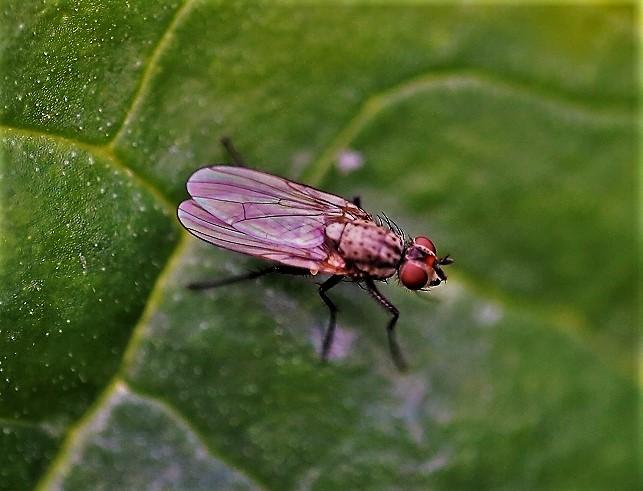 ANTHOMYIIDAE Hylemia sp..JPG