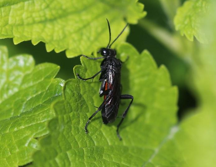 TENTHRENIDAE Macrophya annulata 3.JPG