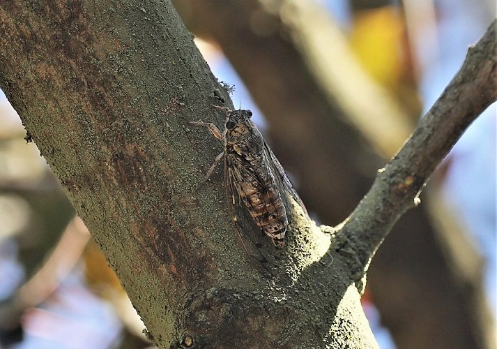 CICADIDAE Cicada orni 5.JPG
