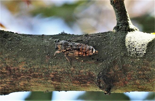 CICADIDAE Cicada orni 4.JPG