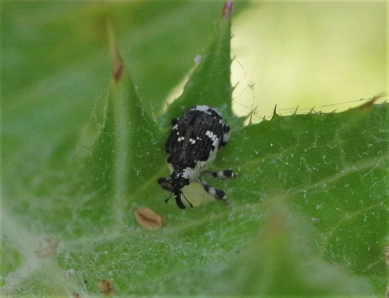 CURCULIONIDAE Hadroplontus trimaculatus 1.JPG