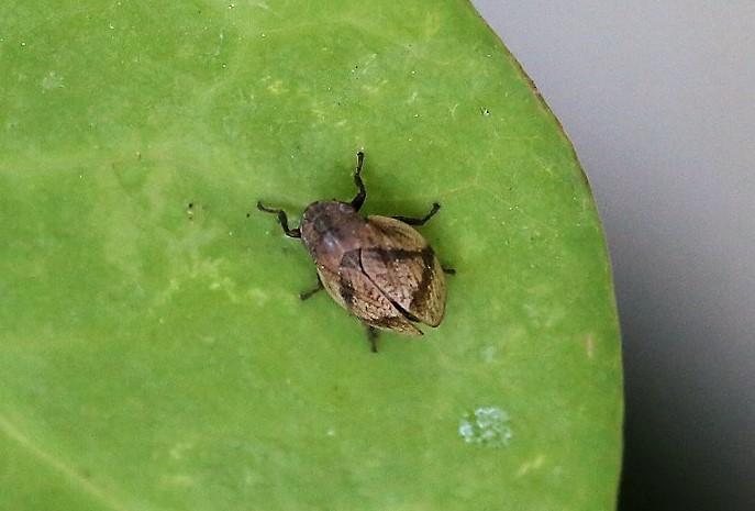 APHROPHORIDAE Lepyronia coleoptrata.JPG