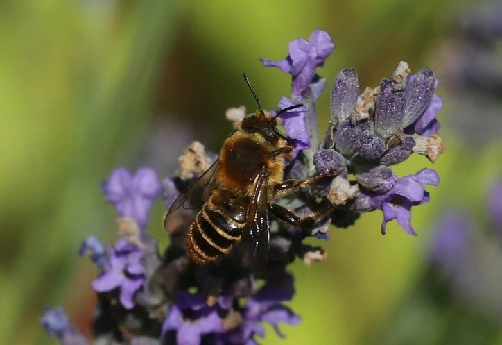 MEGACHILIDAE Megachile centuncularis 5.JPG