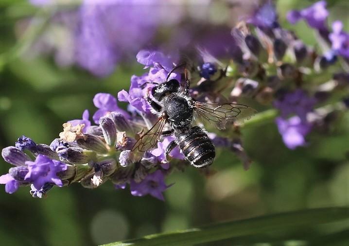 MEGACHILIDAE Megachile ericetorum 8.JPG