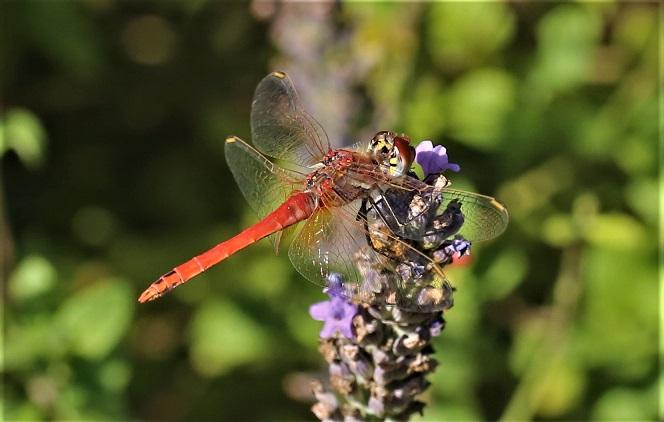 LIBELLULIDAE Sympetrum fonscolombii 10 (sympetrum à nervures rouges mâle).JPG