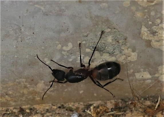FORMICIDAE Camponotus cruentatus 2.JPG