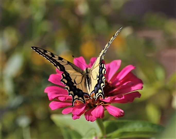 PAPILIONIDAE Papilio machaon 1.JPG