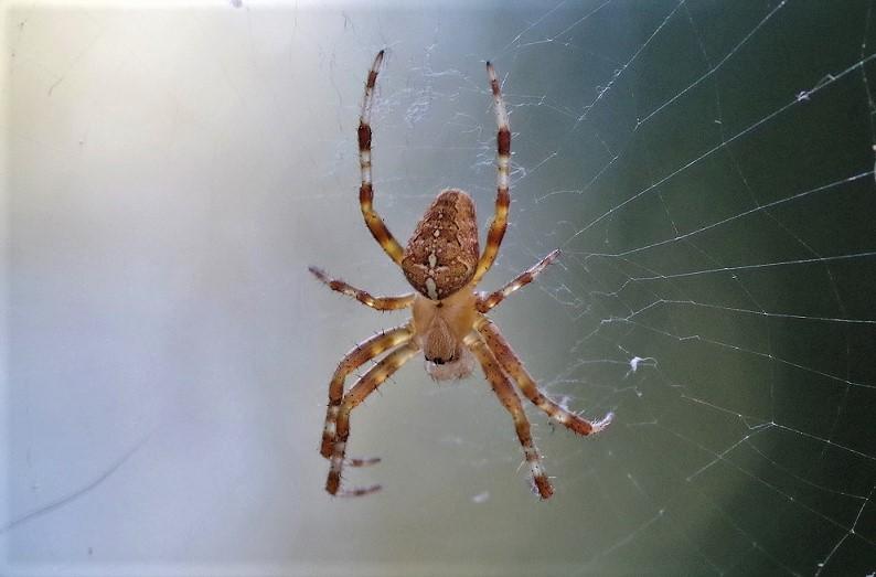 ARANEIDAE Araneus diadematus 3.JPG