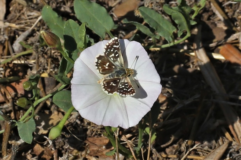 HESPERIIDAE Spialia sertorius (hespérie des sanguisorbes).JPG
