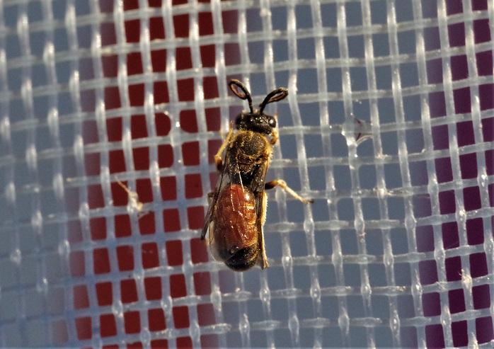 ANDRENIDAE Andrena labiata 3.JPG