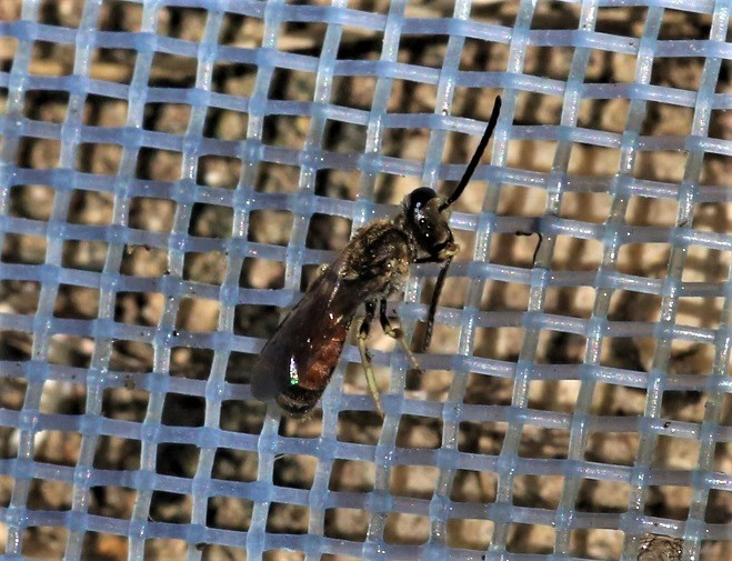 HALICTIDAE Lasioglossum albipes 1.JPG