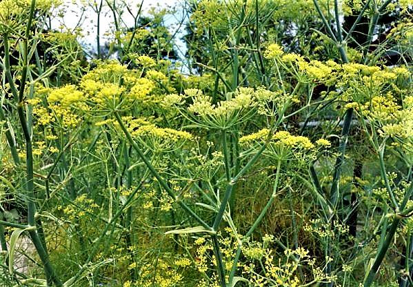 foeniculum-vulgare-600x450.jpg