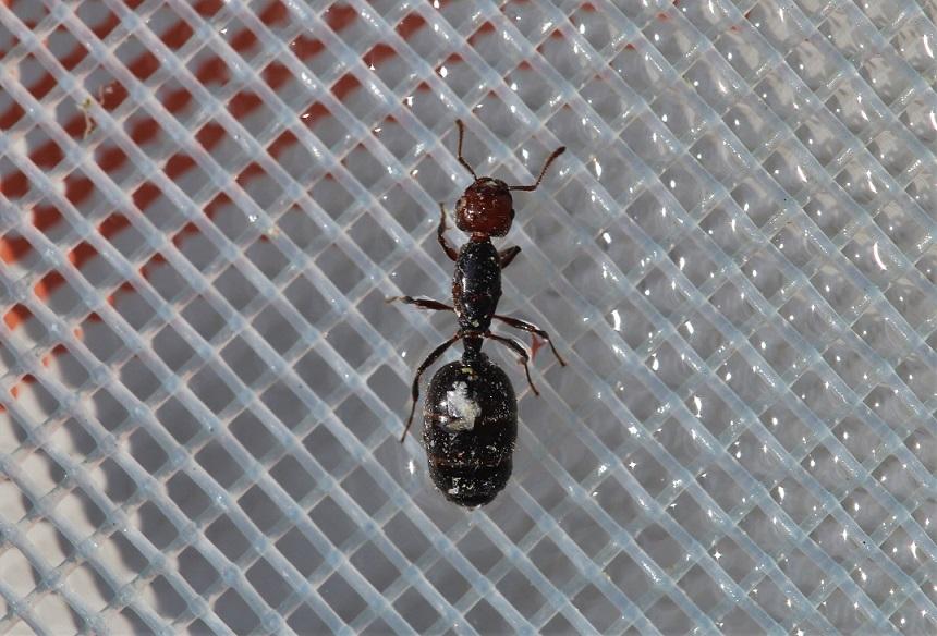 FORMICIDAE Camponotus lateralis 2.JPG