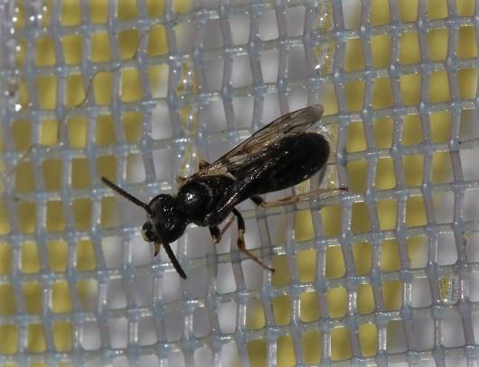 ANDRENIDAE Andrena sp..JPG