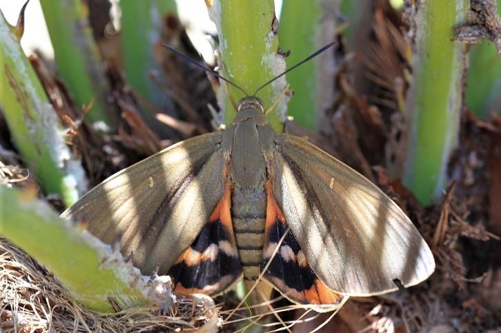 CASTNIIDAE Paysandisia archon (sphinx du palmier).JPG